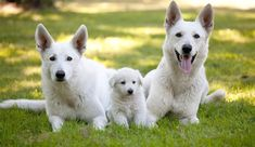 German Shepherd Puppies Seven Things You Didn't Know about the White German Shepherd - German Shepherds are one of the most popular breeds of dogs in America. The medium-to-large breed of dog is often used for a working dog in many different German Shepherd Price, German Shepherd Breeders, German Shepherd Training, German Shepherd Pictures, Australian Shepherds, Baby German Shepherds, West Highland Terrier, Scottish Terrier, Rottweiler