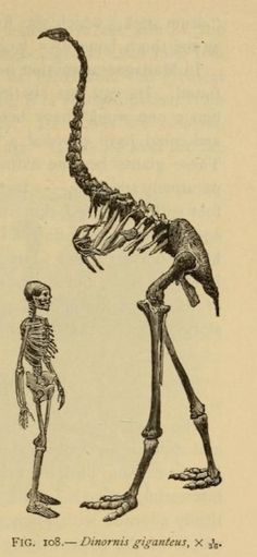 170 best Favorite extinct Animals  images on Pinterest   Dinosaurs     How to measure yourself against extinct birds  1906