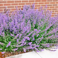 The Best Perennials for Your Yard ~ 2007: 'Walker's Low' Catmint  Excellent heat- and drought-tolerance make this catmint a top pick for tough, sunny sites. And even better, it's typically ignored by even the hungriest deer and rabbits. 'Walker's Low' looks good, too, thanks to its gray-green foliage and violet-blue flowers.