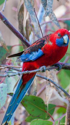 Rare Birds, Exotic Birds, Colorful Birds, Beautiful Birds, Animals Beautiful, Budgie Parakeet, Parakeets, Australian Parrots, Kinds Of Birds