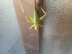 A kind of grasshopper,umaoi