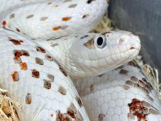 Palmetto Corn Snake- I love that coloration.