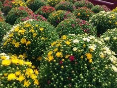 Ready for some fresh color? We've got mounds of mums in every shade you could want -- even all in the same pot, like these cool tricolor mums!