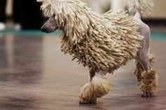 Love the cords on this poodle.
