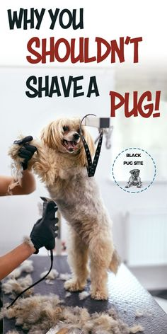 You should never shave your Pugs double coat, as their fur is their protection against, the UV rays, bugs, insects and etc. Pug Health Problems, Pug Facts, Adult Pug, Pug Quotes, Cute Baby Twins, Old Pug, Dog Grooming Tips, Baby Pugs, Eyes Problems