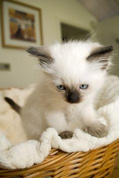 Siamese kitten cuteness