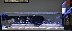 Design: a very tidy reef aquarium, like a living museum Acrylic Aquarium, Glass Aquarium, Home Aquarium, Marine Aquarium, Reef Aquarium, Aquarium Ideas, Cool Fish Tanks, Saltwater Fish Tanks, Saltwater Aquarium