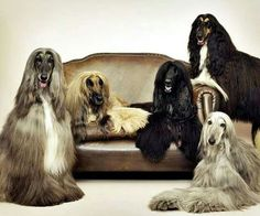Magnificent Afghan Hounds ♥ Loved and pinned by Noah's Ark Mobile Vet Service | 250-212-5069 | Kelowna #pets