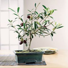 10 Olive Bonsai Tree (Olea Europaea) Seeds, Mini Olive Tree, Olive Bonsai Seeds #BonsaiTreeSeeds
