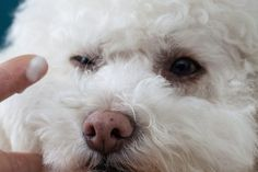 How to Remove Tear Stains on a Bichon Frise (with Pictures) | eHow