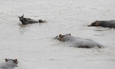 Extremely Rare Footage Of Big Bully Hippo Saving Antelope From Crocodile. Very Heartwarming!