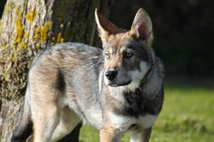 Raven - Saarloos Wolfdog Czechoslovakian Wolfdog, Saarloos, Australian Shepherd, Beautiful Dogs, Videos Funny, Border Collie, Werewolf, Kangaroo, Puppies