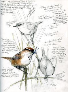 From 'Drawing the Motmot': Marsh Wrens, Canadian River. The landowner welcomes birders, turns back most everyone else. His black angus bull didn't like me much, though. Watercolor over pencil in Stillman & Birn Epsilon sketchbook, hardbound 8 x Vogel Illustration, Art And Illustration, Illustrations, Bird Sketch, Nature Sketch, Arte Sketchbook, Nature Journal, Bird Drawings, Drawing Birds