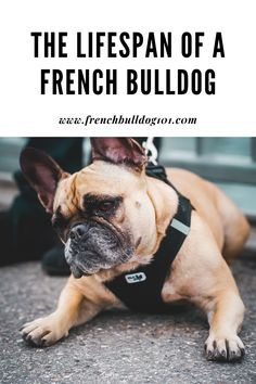 Do you have a French bulldog? French bulldogs may be a toy breed of dog, but they tend to have a shorter lifespan than many breeds. Discover why they have a shorter lifespan than a lot of other dogs here. #frenchies #frenchbulldogs #dogs #doglifespan #dogbreeds #pets #petowners #dogowners French Bulldog Facts, French Bulldog Puppies, French Bulldogs, Training Your Puppy, Training Tips, First Night With Puppy, Food Dog, Love Your Pet, Family Dogs