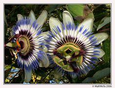 Flores Mas Raras Del Mundo | Las 8 flores mas raras del mundo y mas