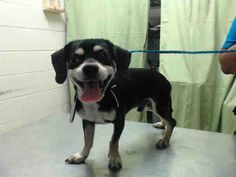 Time is up!! 05/11/16--HOUSTON- -EXTREMELY HIGH KILL FACILITY - MARSHALL - ID#A458815 My name is MARSHALL I am a male, tricolor and black Chihuahua - Smooth Coated and Cairn Terrier. The shelter staff think I am about 1 year old. I have been at the shelter since May 11, 2016. This information was refreshed 37 minutes ago and may not represent all of the animals at the Harris County Public Health and Environmental Services.