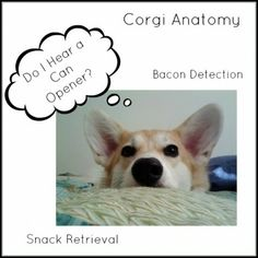 12 Lessons in Corgi Anatomy