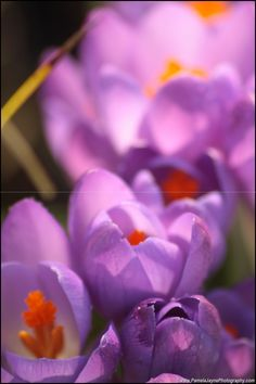 Spring Crocus  THEY ARE COMING!!!! SOON!!!!