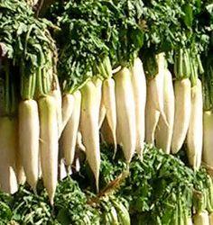 Daikon Radish Seed - 5 lb. bag (Free Shipping) Daikon Radish Seed Food Plot…