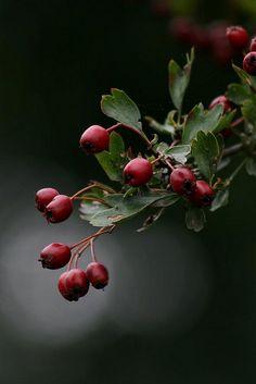 ♥ Hawthorn berries
