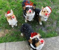 Corgi Christmas Pic... :)