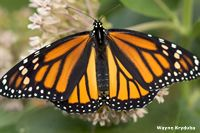 CC Cycle 2 Week 5 Science Lots of info and activities listed for monarch butterflies including migration.