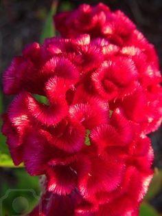Planta de chenilla rosa brillante