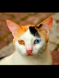 A cat with 2 different colored eyes