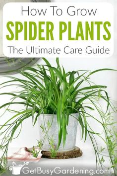 Spider Plant Babies, Airplane Plant, Easy Care Houseplants, Low Light Houseplants, Snake Plant Care, Chlorophytum, Household Plants, House Plant Care, House Plants Decor