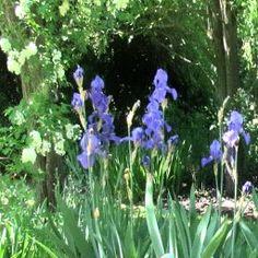 SIR HANS HEYSEN 6 - Blue Iris and Mock Orange