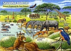 Free Home school Lessons. Free Geography Unit Study: Africa with science, art and history lessons habitat Savanna Biome, Savanna Grassland, Grassland Biome, Grassland Habitat, Tropical Savanna Climate, African Savanna Animals, List Of Animals, Animal Habitats, Biomes