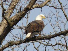 Bald eagle over Lake Powderhorn at Innsbrook, MO, by Kurt White.  http://www.innsbrook-resort.com