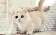 - Munchkin kitten - I have one of these special kittens, Precious is all black and fluffy with tiny legs. Yet she is the quickest and smartest in her feline family. Cute Kittens, Cats And Kittens, Kitty Cats, Derpy Cats, Cats Meowing, Siamese Kittens, Tabby Cats, Bengal Cats, I Love Cats