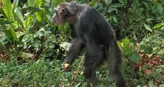 Chimpanzees' upper-body flexibility while walking upright suggests ancient hominids walked effectively.