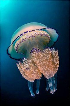 "Barrely Jellyfish (rhizostoma pulmo) ~ by ayustar ~ Mik's Pics ""Sea Life lll"" board Beautiful Sea Creatures, Deep Sea Creatures, Weird Creatures, Life Under The Sea, Under The Ocean, Sea And Ocean, Underwater Creatures, Underwater Life, Water Animals"