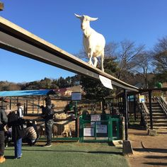 #goat #German #village #farm #zoo #balance #beam