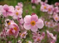 Flower Gardening Tips - Help Creativity Bloom in Your Flower Garden Anenome Flower, Anemone Du Japon, Flower Room Decor, Oriental Perfumes, Plantation, Free Pictures, Houseplants, Gardening Tips, Perennials