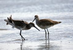 Willets on the Atlantic beach.