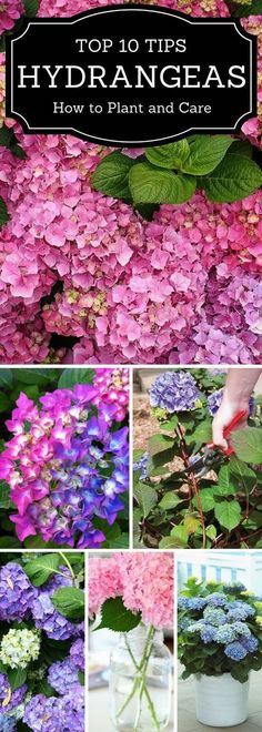 Follow our General Hydrangea Care & Maintenance Guide and learn how to plant them, grow them and take proper care for them. #LandscapingTips&Tricks