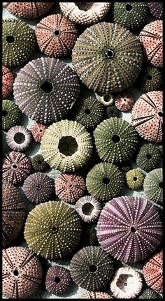 Sea Urchin shells. I didn't know where to pin this. I love the look of these shells, you could probably just frame them as a print or get someone to print it on cotton, cover with vinyl and use as a tablecloth?