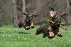 Normalteckel, Dachshund, Dackel ⋆ Hunde