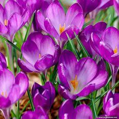 db52c32dd Ruby Giant Snow Crocus. Daffodil BulbsBulb FlowersDaffodilsCrocus ...