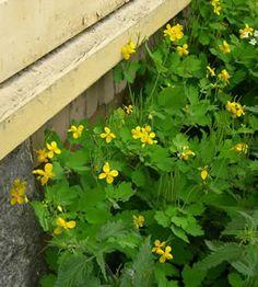 stinkende gauwe Edible Plants, Organic Farming, Healthier You, Herbal Medicine, Wild Flowers, Natural Remedies, Herbalism, 3d Printing, Survival
