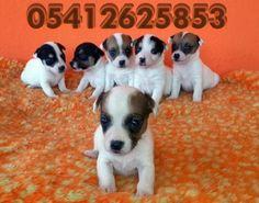 yavru jack russell terrier satılık