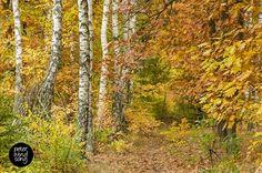 Las (forest) Marceliński in autumn.
