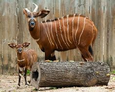 Mom and baby - Brody the Baby Bongo, Born at the Houston Zoo Baby Animals Pictures, Cute Baby Animals, Houston Zoo, Large Animals, Wild Animals, Mom And Baby, Mammals, Giraffe, Cute Babies