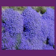 Tařička zahradní fialová - Aubrieta hybrida - semena - 0,1 g