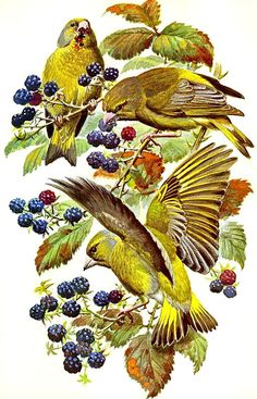 Green Finch ~ Charles Tunnicliffe Wildlife Paintings, Wildlife Art, Bird Drawings, Animal Drawings, Bird Illustration, Classical Art, Typography Prints, Bird Art, Beautiful Birds