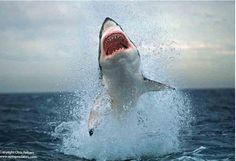 Great White Shark Breach - Photo: Chris Fallows