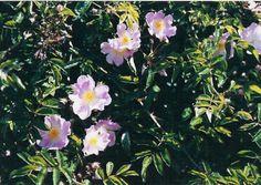 rose 'Evangeline', Rambler.   (Walsh, 1906).   http://home.comcast.net/~capecodheritageroses/walsh.htm